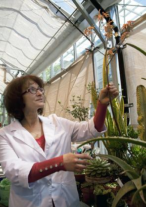 Lab assistant Margarita Gasparyan works in the greenhouse May 10.