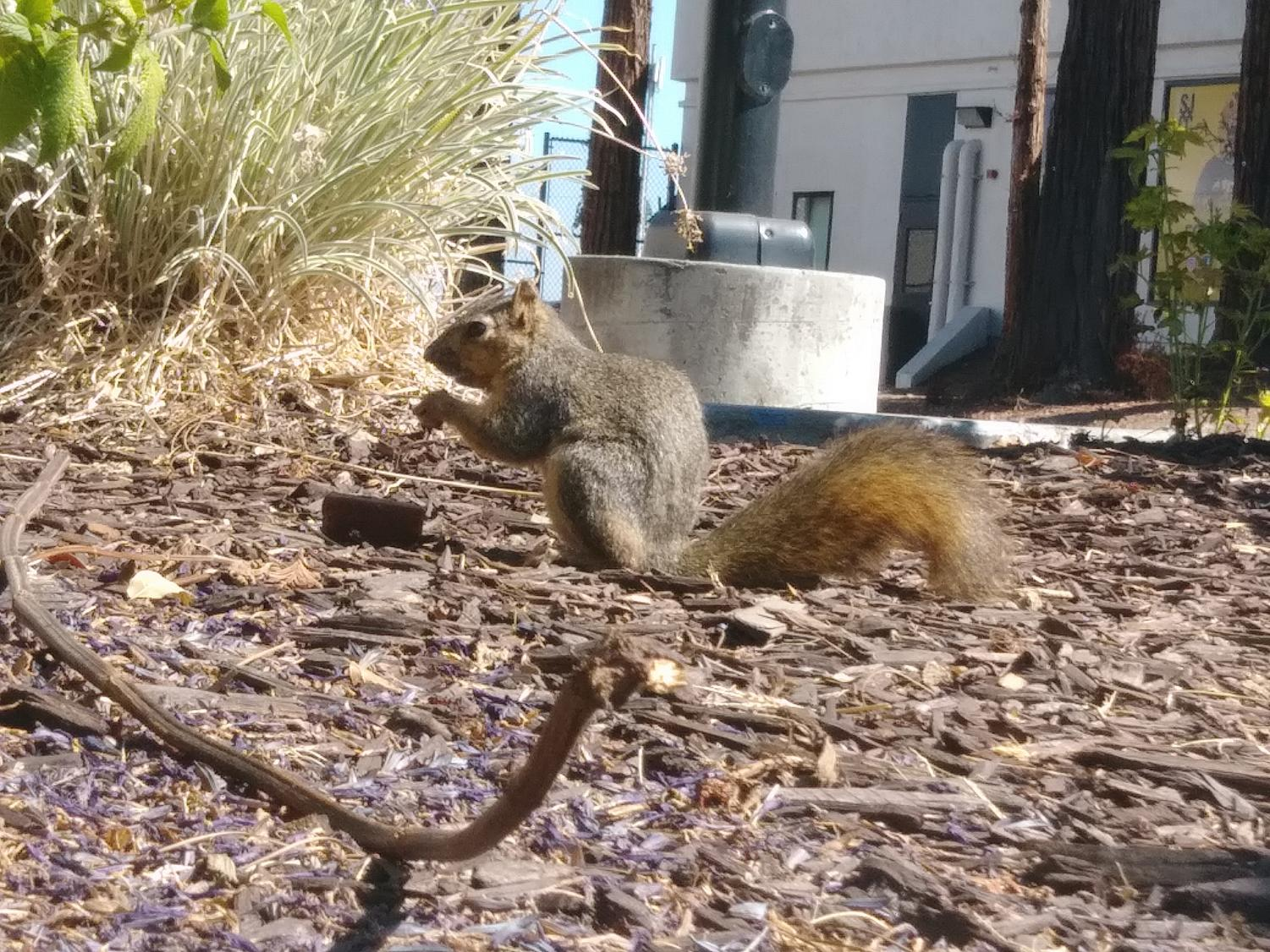 Squirrel eating a muffin after digging it out of a garbage can on Sep 25th.