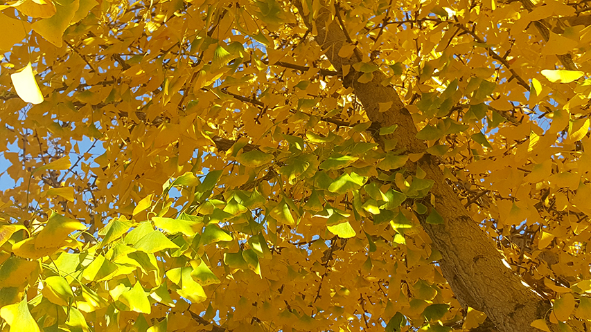 There are many Gingko trees is standing along the pathway of the campus at SJCC. In the Autumn, all the leaves change to the vibrant yellow color. This symbol is as reminding that the winter is coming. Friday, Nov 30, 2018.